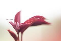 Red Passion (LibanoGraphie) Tags: red passion redpassion foglie foglia sony sonynex7 nex 7 flowers