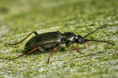 loricera (Iain Lawrie) Tags: loricera pilicornins ground beetle macro focus stack handheld natural light iainlawrie