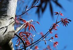 Japanese Maple (Bella Lisa) Tags: japanesemaple buds