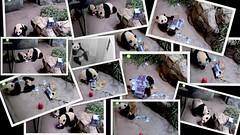 Snapshots of Bei Bei's First Birthday (heights.18145) Tags: smithsoniansnationalzoo beibei meixiang panda bear ccncby endangeredspecies cuteanimals birthday beibeisfirstbirthday party snapshots explore