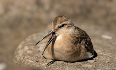 Curlew Sandpiper (Severnrover) Tags: curley sandpiper wader midrating migration resting