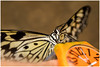 The butterfly arrived right on time... (kevingrieve610) Tags: sensational butterflies natural history museum london city macro diffused flash swallowtail nature canon 760d ef100mm summer 2016