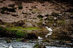 Little Egret (Egretta garzetta) (scrumsrus) Tags: littleegret egrettagarzetta bird rivercoquet northumberland england