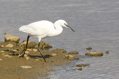 Little Egret - Patience (Wendy Parker) Tags: egret wader stealth water lake outdoor bird fishing canon 7d