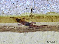 Juvenile Gecko (tinlight7) Tags: gecko lizard reptile juvenile nocturnal dubai uae taxonomy:kingdom=animalia animalia taxonomy:phylum=chordata chordata taxonomy:subphylum=vertebrata vertebrata taxonomy:class=reptilia reptilia taxonomy:order=squamata squamata taxonomy:suborder=sauria sauria taxonomy:infraorder=gekkota gekkota taxonomy:family=gekkonidae gekkonidae taxonomy:genus=hemidactylus hemidactylus taxonomy:species=robustus taxonomy:binomial=hemidactylusrobustus hemidactylusrobustus heydensgecko taxonomy:common=heydensgecko