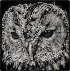 Stylised Owl (Andy J Newman) Tags: uffington england unitedkingdom gb owl hdr hdrefexpro hdrefex bird nikon d500