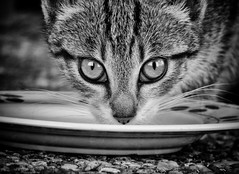 Milk Time! (Missy Jussy) Tags: kitten tabby feral animal eyes stare milk saucer plate ground whiskers mono monochrome blackwhite bw labrugere france southwestfrance dordogne holiday trip portrait catportrait littledoglaughednoiret