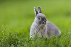 Alice (Ben Lockett) Tags: canon85mm12lii 5d 85l canon bunny baby garden grass pet cute alice rabit