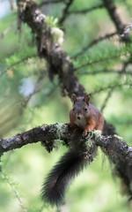 Squirrel (pascal_kipf) Tags: eichhrnchen squirrel sciurius vulgaris lrche branch mammal sugetier