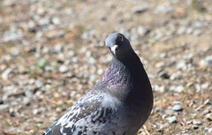 Rock Dove (careth@2012) Tags: pigeon wildlife bird nature rockdove expression pose eye beak feathers