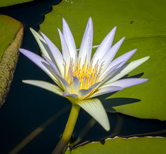 HDR Waterlily (tresed47) Tags: 2016 201609sep 20160912longwoodmacro canon7d chestercounty content flowers folder hdr hdrtonemapped lily longwoodgardens macro pennsylvania peterscamera petersphotos places takenby technical us waterlily