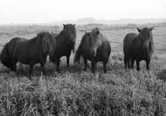 The Fab Four (Mark Dries) Tags: markguitarphoto markdries hasselblad500cm planar rollei rpx100 rodinal 150 1700 film filmphotography horses fabfour beatles 6x6 mediumformat slr