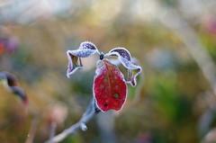 frozen leaves (Stefano Rugolo) Tags: pentax k5 bokeh autumn lazio italy countryside frost smcpentaxm50mmf17 fall colors depthoffield dof plant 2015 contrast morningwalk stefanorugolo