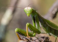 Mante 26 (Jeaunse23) Tags: mantis mantisreligiosa macro insect france ardeche