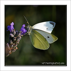 Small White (prendergasttony) Tags: elements butterfly cabbage white outdoors nature nikon d7200 small sunshine garden