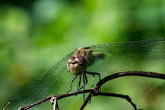 Warming up , #Nature , #outdoor , #upclose , #color , #Light , #composition , #Closeup , #Photographer , #dragonfly , #Fauna , #animal , #tree , #Wildlife , #mothernature , #delicate , #Insect , #beautiful , #splendid , #Bokeh , #photoart , #macro , #wand (jwzw@ymail.com) Tags: warming up nature outdoor upclose color light composition closeup photographer dragonfly fauna animal tree wildlife mothernature delicate insect beautiful splendid bokeh photoart macro wanderlust sunshine summer perspective elegant exposure garden contrast photography