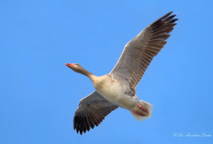 Feeling Free... (Anirban Sinha 80) Tags: nikon d 610 500mm ed vrii n flight wings goose bird