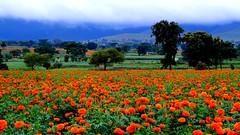 Mallika flower (Navas Peravoor) Tags: flower garden cultivation gundal