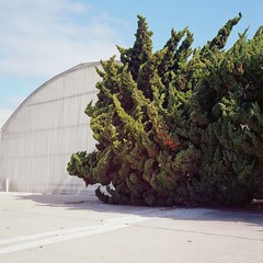 . (ADMurr) Tags: california sbcounty curve cypress rolleiflex zeiss planar kodak ektar film hollywoodcypress