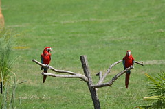 Equilibrium (dfromonteil) Tags: ara bird oiseau perroquet nature rouge red vert green colors couleurs