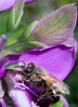 Bee on Polygala (Paolo Strologo Media) Tags: bee macro polygala flower purple insect sonya6000 a6000 vintage lens