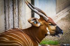 Bongo (Wivelrod) Tags: bongo marwell animal zoo