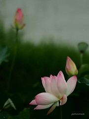 1 - Loutus in the rain (johnmok1) Tags:    lotusflower