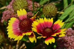 Rudbeckia flowers (Sandra Király Pictures) Tags: rudbeckia flower flowers botanicalgarden ogródbotaniczny warsaw poland nature outdoor