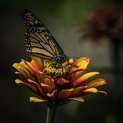 Z-Sipper (Portraying Life) Tags: michigan unitedstates flower handheld closecrop nativelighting matthaeibotanicalgardens