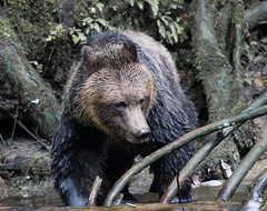 must be fish !! (wesleybarr1962) Tags: grizzlybear grizzly