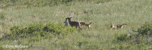 Photo - Coyote Pups