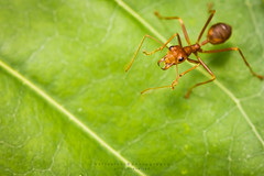 one red ant on green leaf (notjustnut) Tags: macro insect ant