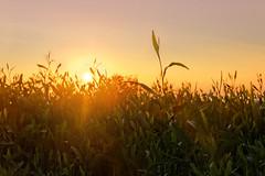 Sunset therapy (Charn High ISO Low IQ) Tags: sunset orange grass yellow canon eos dusk uae abudhabi corniche unitedarabemirates 600d