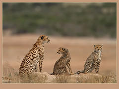 Vigilance (Rainbirder) Tags: cheetah amboseli acinonyxjubatus rainbirder