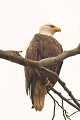 Vigilant (catoledo) Tags: eagles birdsofprey americanbaldeagle conowingo2012