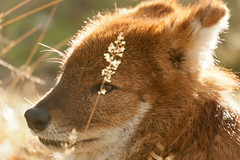 Dhole (Asiatic Wild Dog) (unluckypixie) Tags: wild portrait dog sun closeup head sleep asiatic dhole flickraward