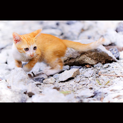 A kitten looking for her mom (-clicking-) Tags: pet cute animal yellow cat eyes kitten dof kitty cutekitten cutekitty