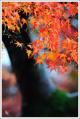 20121126_6573e_ (Redhat/) Tags: autumn fall japan temple maple kyoto redhat              sinnyodo