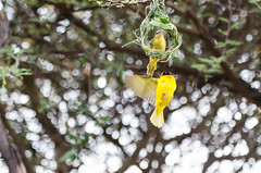 """Southern Masked Weaver in Namibia • <a style=""""font-size:0.8em;"""" href=""""https://www.flickr.com/photos/21540187@N07/8292736864/"""" target=""""_blank"""">View on Flickr</a>"""