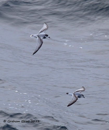 Blue Petrel (Halobaena caerulea) and Antarctic Prion ( Pachyptilia desolata)   flying together,