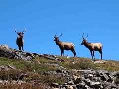 Three Male Elk (saxonfenken) Tags: animal three colorado rocks bluesky deer superhero rockymountains elk threeofakind twothumbsup bigmomma gamewinner challengeyou challengeyouwinner challengewinner a3b friendlychallenges 6948 thechallengefactory herowinner storybookwinner pregamesweepwinner day1usae30 thechallengefactoryunam 6948animal