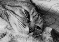 micina (52Bunny) Tags: portrait bw cats pets cute nikon kitten chat bn coolpix gatti biancoenero micio p100 52bunny