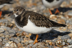 Ruddy Turnstone, Salthouse, Norfolk (Andy_Hartley) Tags: flickrstruereflection2 rememberthatmomentlevel1