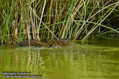 European Water Vole - Arvicola terrestris