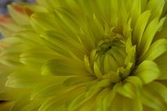 Dahlia (Liisamaria) Tags: flowers musictomyeyes floralfantasy flowercolorful perfectpetals heartawards naturewatcher naturestyle worldofflowers awesomeblossoms oneflowerperday amazingdetails flowersorinsectsmacro naturewithallitswonders perfectpetalsprestigiousgroup exquisitegorgeousflowers