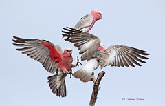 Move on - my turn (on Explore 26 Dec 2012) (aussiegypsy_Katherine, NT) Tags: pink wild nature birds woodland grey spread three fight wings open native action top wildlife group flight wide australian feathers katherine australia move end argument trio cockatoo aussie northern tails active northernterritory paddock galah argue roseate birdlife moveover wildbirds squabbling rosebreastedcockatoo avianexcellence outspread simplysuperb lorraineharris eolophuskuhli