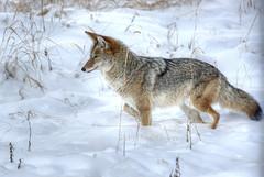 coyotesnow005 (Deby Dixon) Tags: travel nature landscape photography nationalpark wolf wildlife moose fox yellowstonenationalpark wyoming bison wyo bullelk debydixonphotography