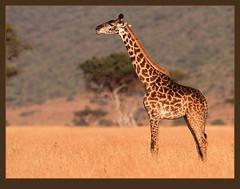Masai Giraffe (Rainbirder) Tags: masaimara giraffacamelopardalistippelskirchi giraffacamelopardalis masaigiraffe rainbirder