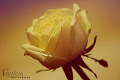 yellow flower (Vantom BB 22044880) Tags: flowers flower   2012