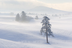 Palouse Winter Solitude (Ryan McGinty) Tags: winter usa freezingfog landscape newyearseve highkey palouse whitmancounty ponderosapine wondersofnature ryanmcginty pogonips
